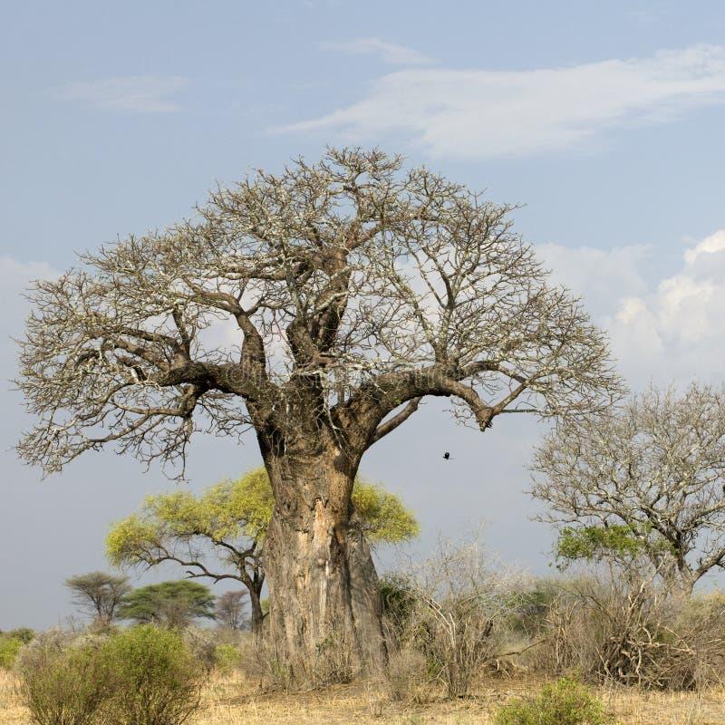 Balboabaum im Serengeti lizenzfreies stockbild