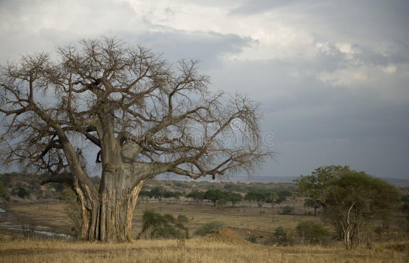 Balboabaum im Serengeti, Tanzania stockbild