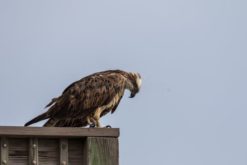 Balbuzard à J n Ding Darling National Wildlife Refuge, Sanibel images libres de droits