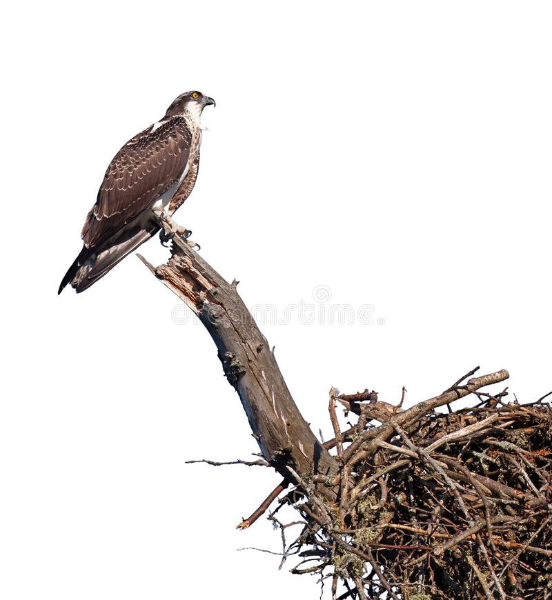 Balbuzard été perché au-dessus de son nid photo libre de droits