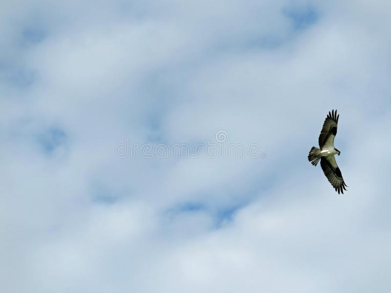 Balbuzard en vol chez Ding Darling Wildlife Refuge photographie stock libre de droits