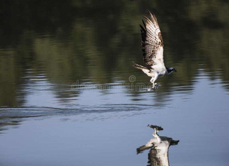 Balbuzard en vol plongeant et pêchant des poissons images libres de droits