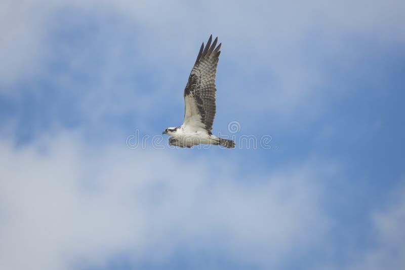 Balbuzard montant au-dessus de Fort De Soto Park, St Petersburg, la Floride photographie stock libre de droits