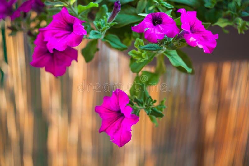Balc?n del verano que cuelga las flores p?rpuras de la petunia imagenes de archivo