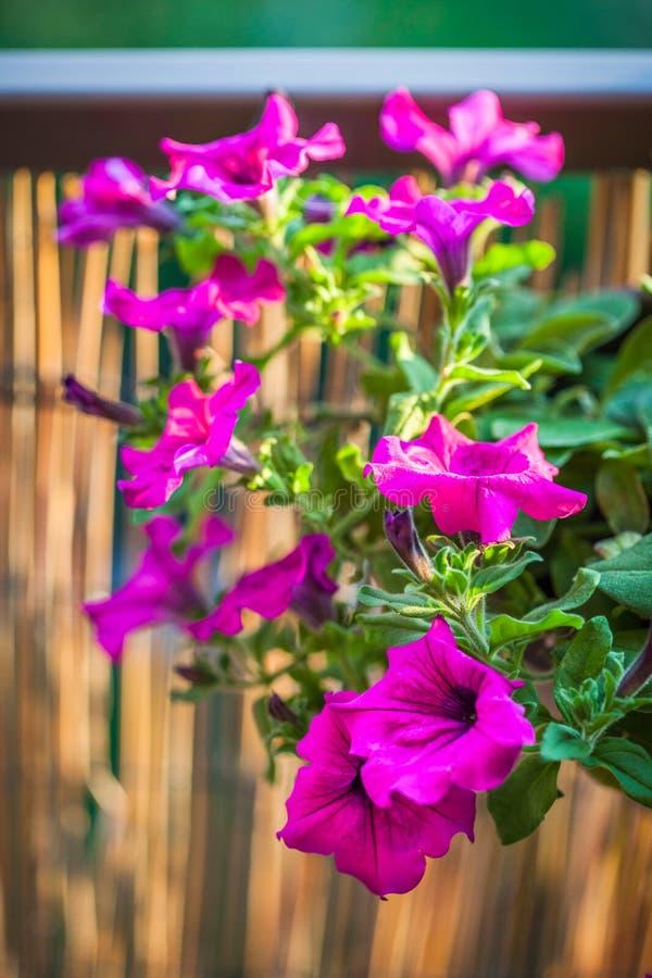 Balc?n del verano que cuelga las flores p?rpuras de la petunia imágenes de archivo libres de regalías