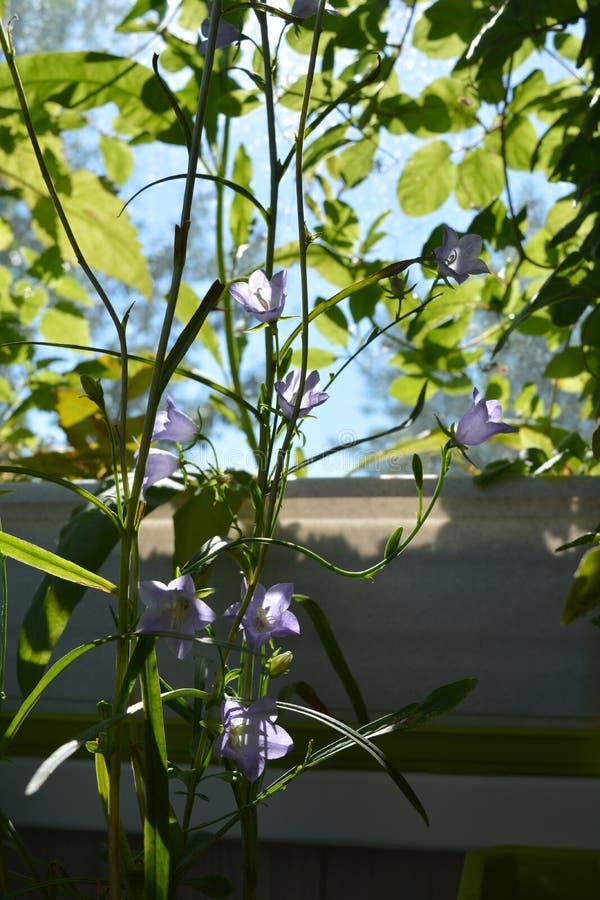 Balc?n greening Hermosa vista en las flores violetas del persicifolia de la campánula entre las hojas verdes de otras plantas fotos de archivo