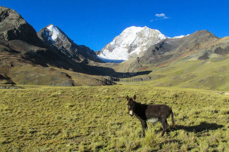 Balck donkey in the mountains. Standing and eating grass stock photo