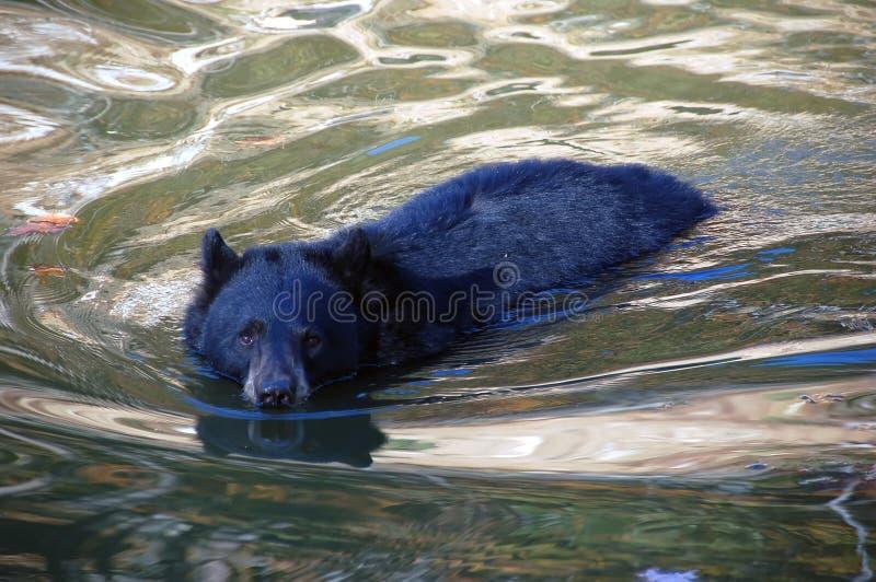 balckbjörnsimning arkivbilder
