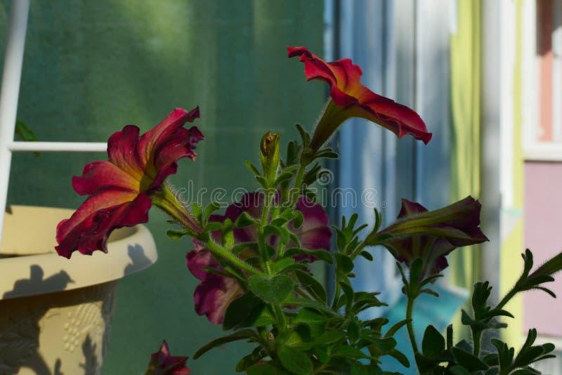 Balcone che si inverdisce con i bei fiori della petunia summertime immagini stock libere da diritti
