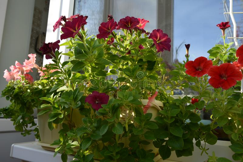 Balcony gardening. Different petunia flowers grow in containers. Home greening.  stock photo