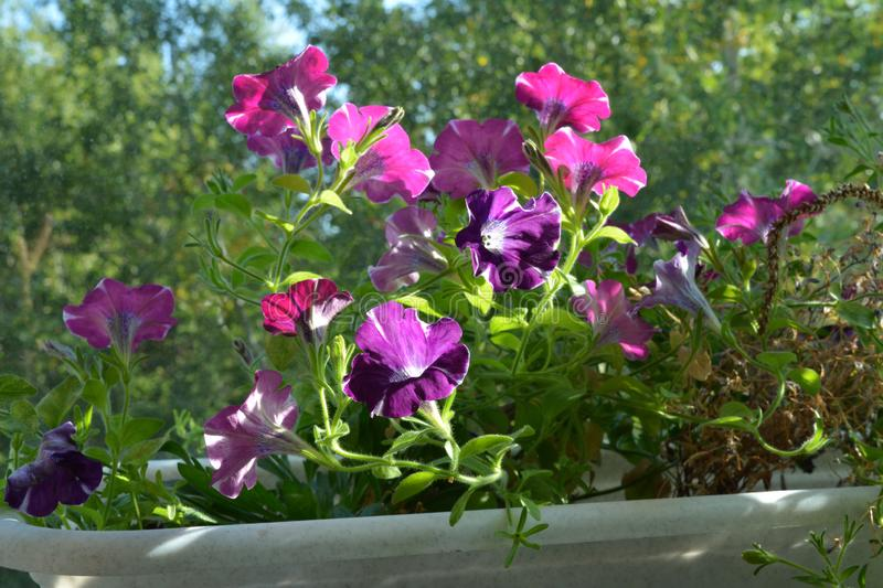 Balcony greening with bright petunia flowers. Popular plants in small urban garden.  stock photos