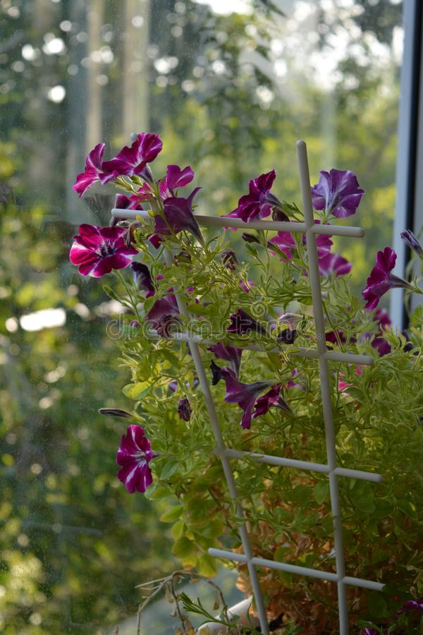 Balcony greening. Charming flowers of petunia on blurred background.  stock photo