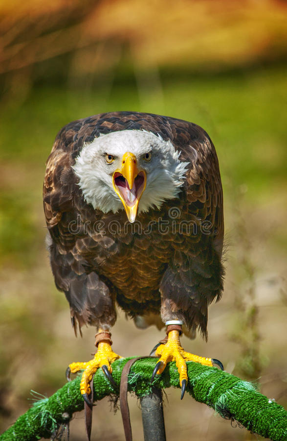 Bald american eagle screaming in a zoo stock photo