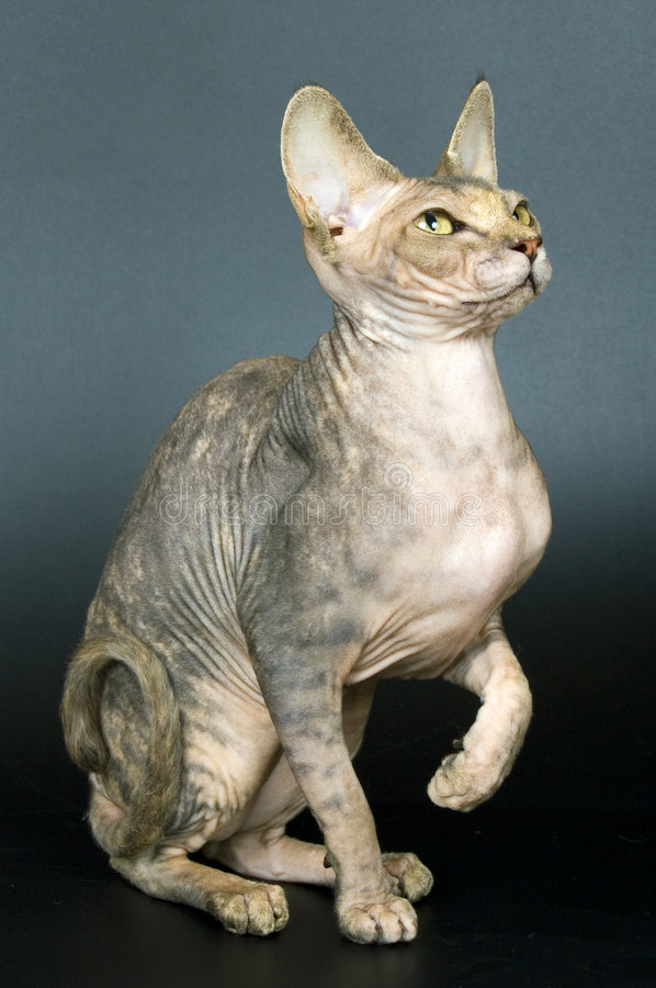 Bald cat. The Canadian sphynx stock images