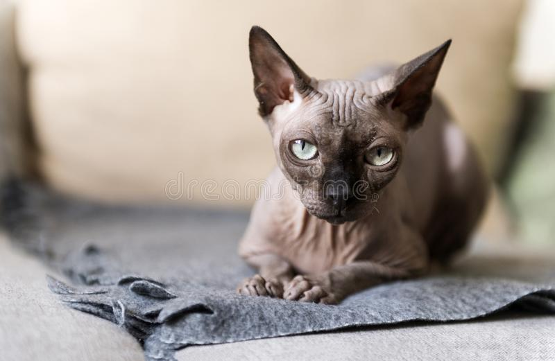1 bald cat lying on the couch, canadian Sphynx, cat eyes royalty free stock photos