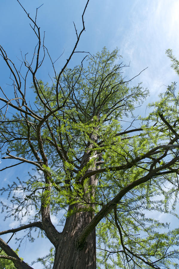Download Bald cypress stock image. Image of crown, bald, trunk - 20004081