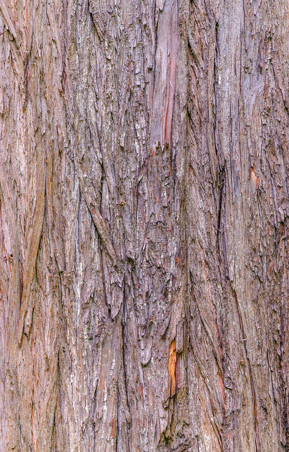 Bald cypress texture stock image