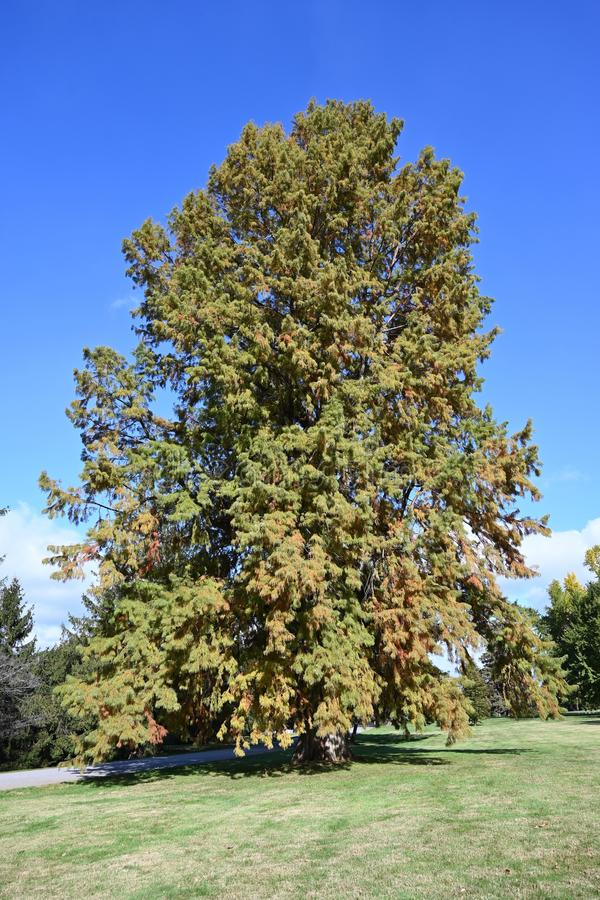 Bald Cypress Tree. A mature bald cypress tree on a green lawn stock image