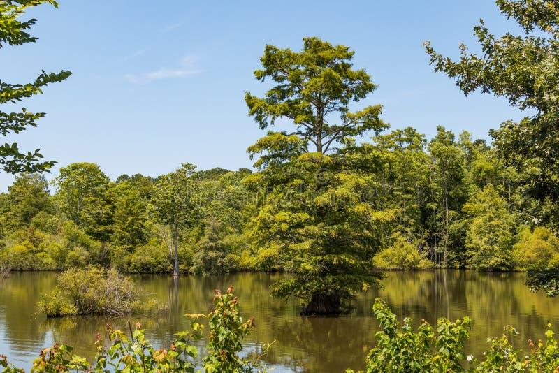 Bald Cypress Trees at Stumpy Lake in Virginia Beach, Virginia stock images