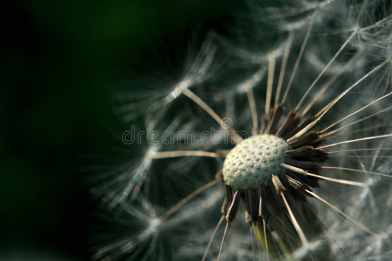 Bald dandelion with dark green background royalty free stock photos