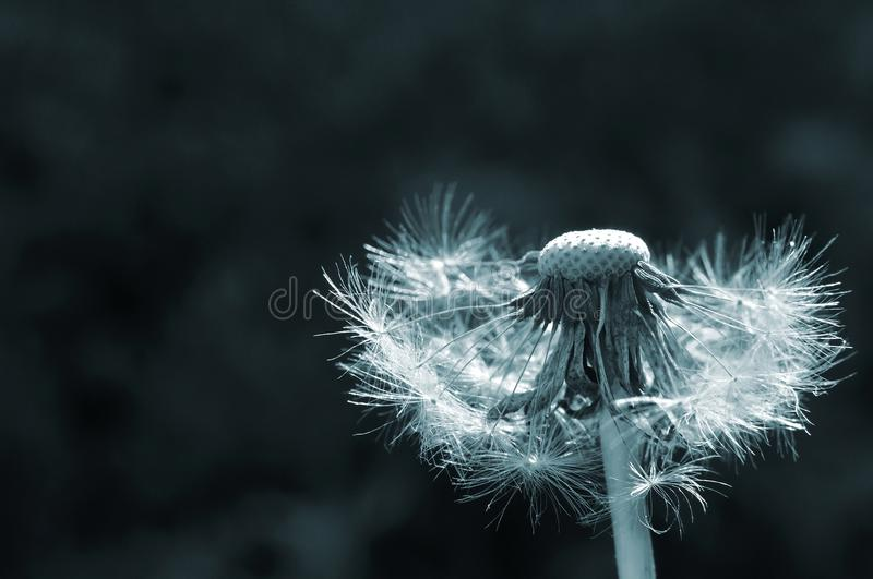 Bald dandelion with dark green background royalty free stock images