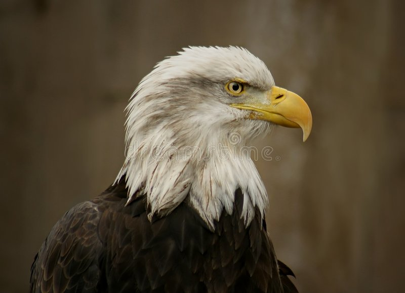 Download Bald Eagle stock image. Image of bald, diurnal, perched - 105611