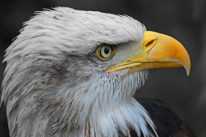 Bald eagle. Close-up profile shot of a bald eagle looking around stock photography