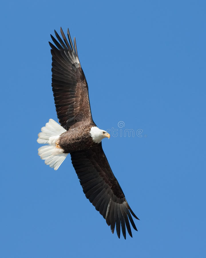 Bald Eagle. On the wing