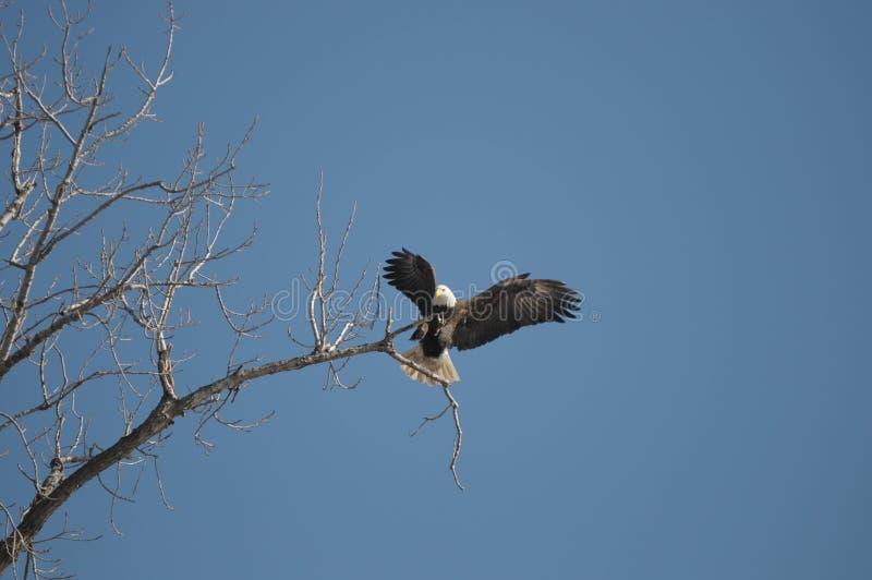 Bald Eagle. A Bald Eagle landing on a tree branch near Grafton Illinois royalty free stock photo