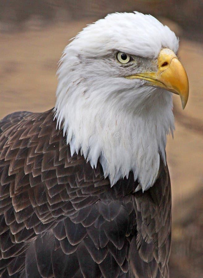 Free Bald Eagle Stock Photos - 11872163