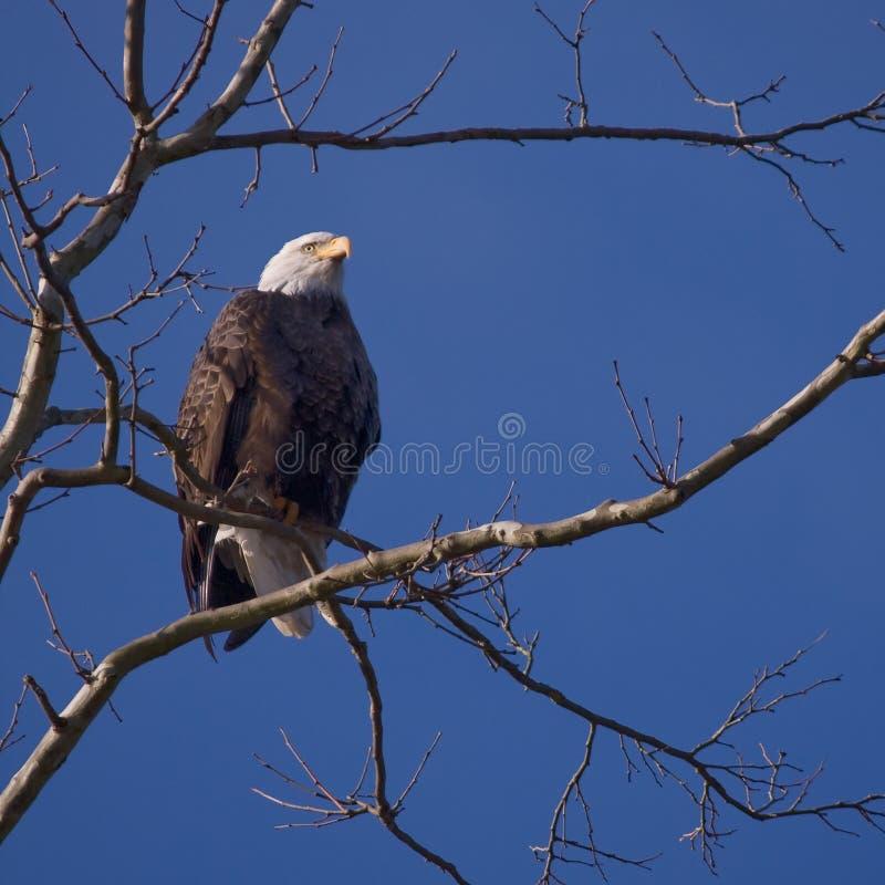 Download Bald Eagle stock photo. Image of states, bald, prey, resting - 11910392