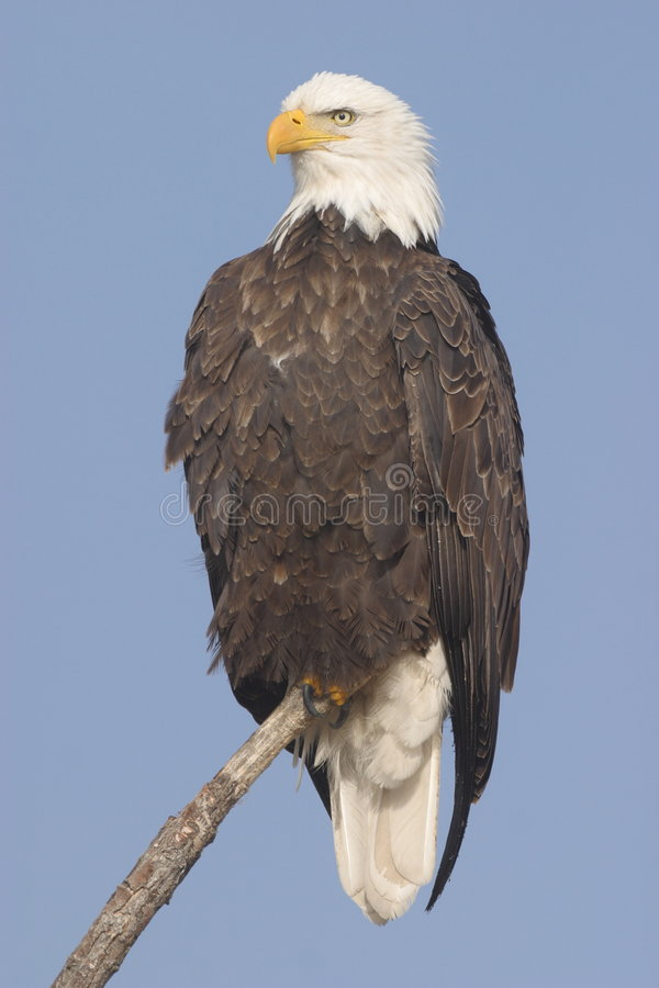 Free Bald Eagle Royalty Free Stock Photo - 1321515