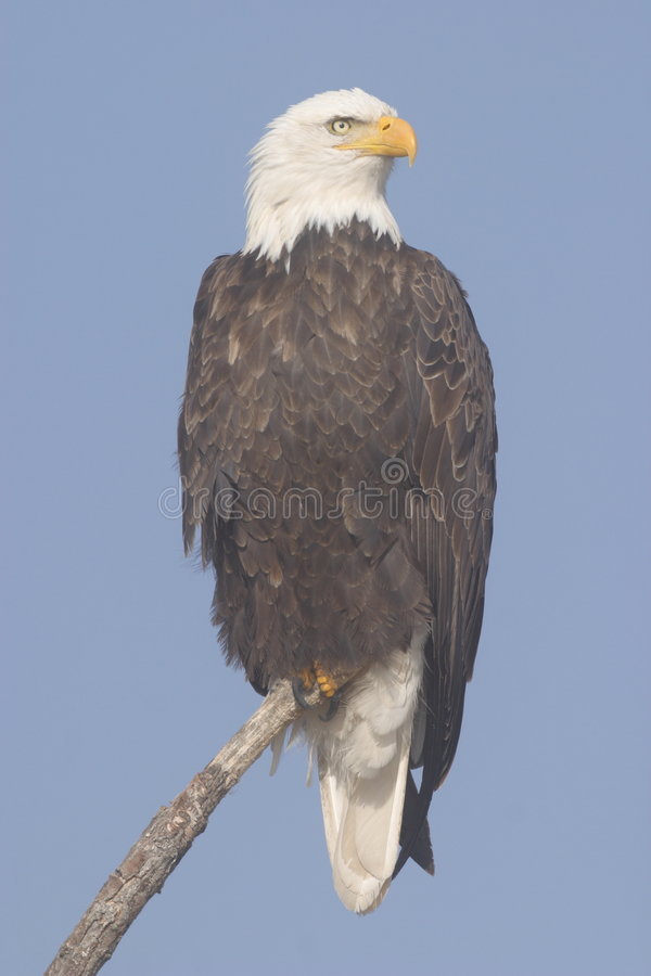 Free Bald Eagle Stock Photography - 1321602