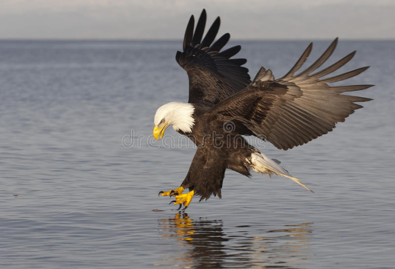 Bald Eagle. Catching fish in Alaska