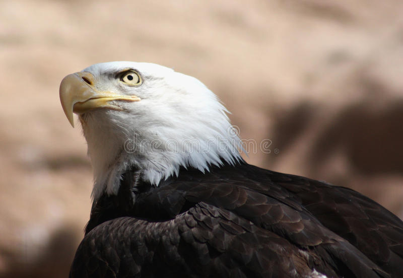 Bald eagle. Closeup of the national symbol of the united states, the bald eagle stock photography