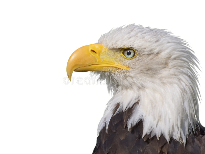 Download Bald Eagle stock image. Image of attentive, independence - 1428051