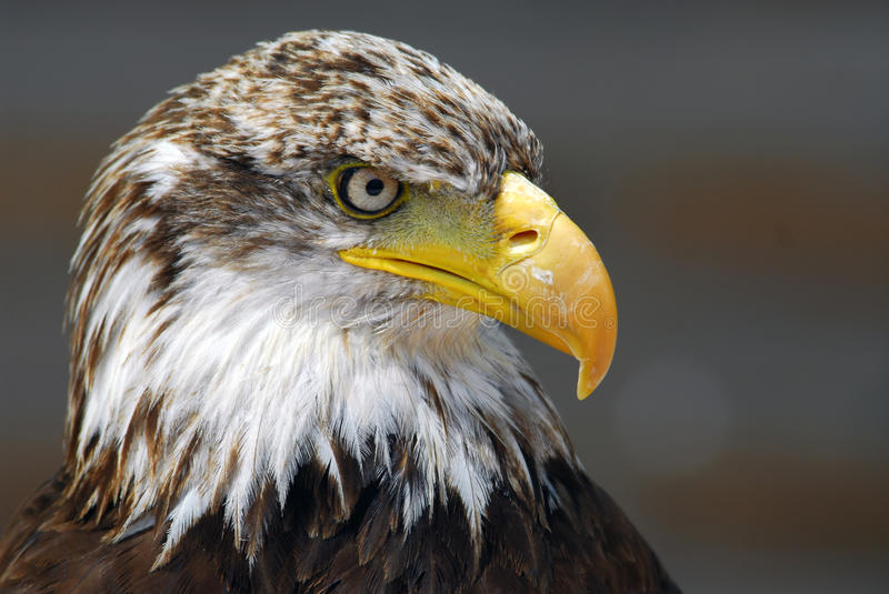 Download Bald Eagle stock photo. Image of detailed, raptor, close - 14365002