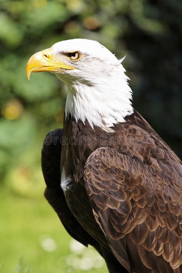 Free Bald Eagle Royalty Free Stock Photography - 14572987
