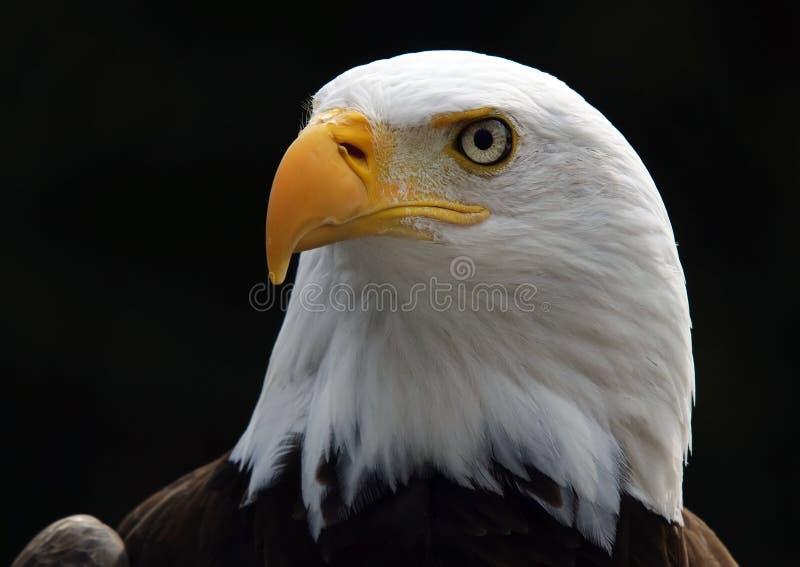 Bald eagle. Portart of an American Bald Eagle bird of prey royalty free stock photo