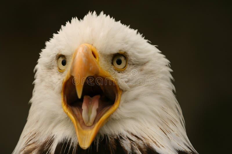 Bald Eagle. Portrait of a crying bald eagle royalty free stock photo
