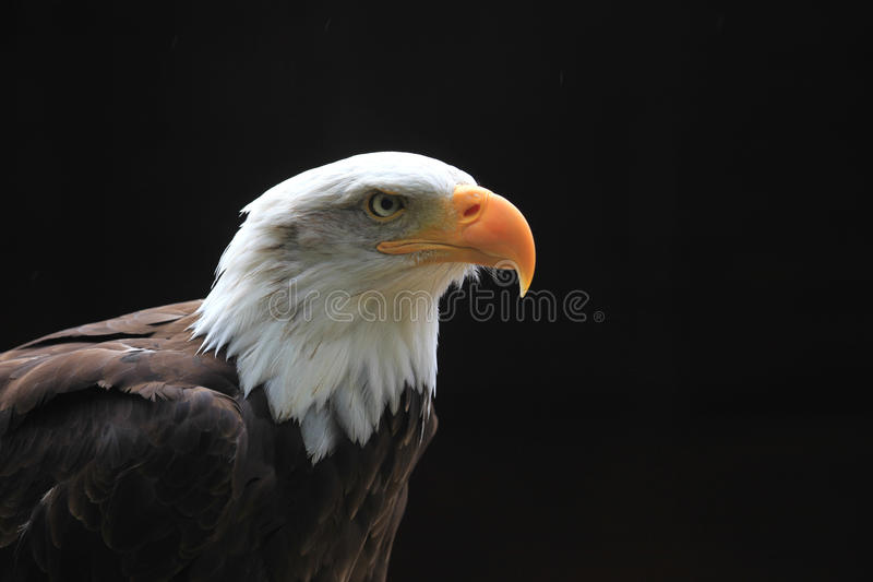 Download Bald eagle stock photo. Image of bald, head, background - 16252834