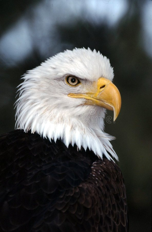 Bald eagle. Close-up portrait green and white background stock photos