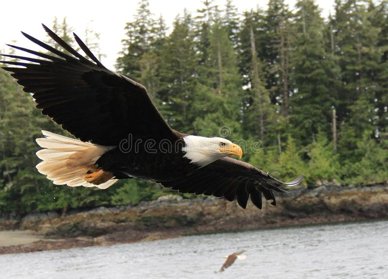 Bald Eagle. A bald eagle that flew close to our fishing boat in Alaska