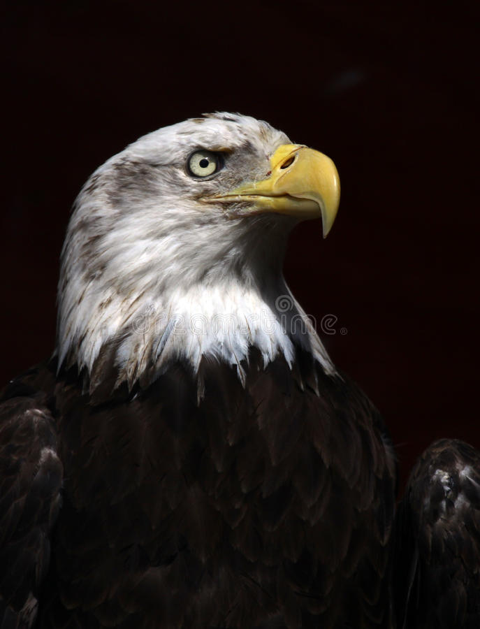 Bald Eagle. Intense Bald Eagle Portrait In Profile stock image