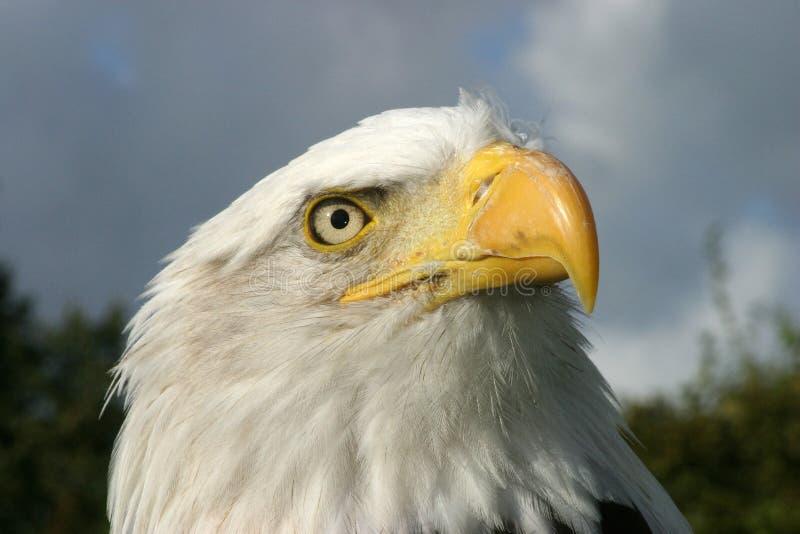 Download Bald eagle stock image. Image of eagle, concentration - 18843217