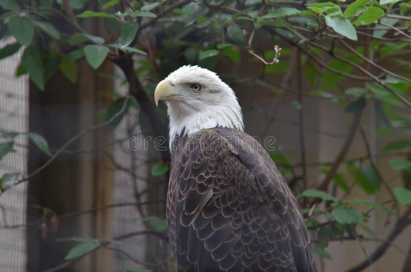Download Bald eagle stock photo. Image of look, bald, leaf, leaves - 19326896