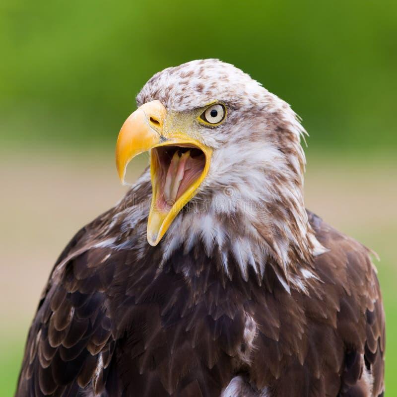 Download Bald Eagle stock photo. Image of animal, portrait, eagle - 19601934