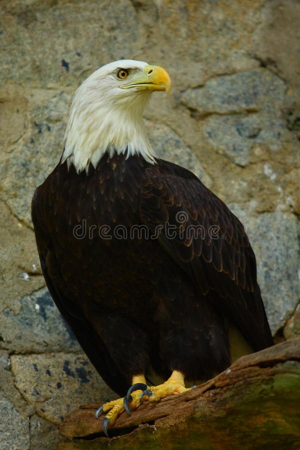 Bald Eagle. A Bald eagle perched on branch stock photography