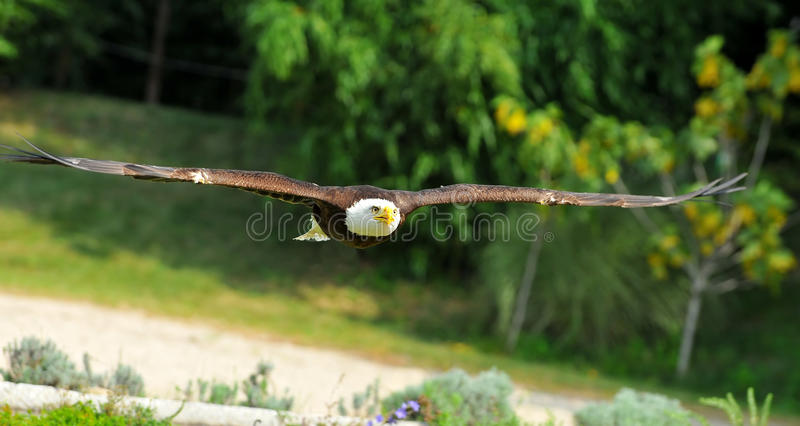 Bald Eagle. The amazing wingspan of a bald eagle flying low over the ground stock images
