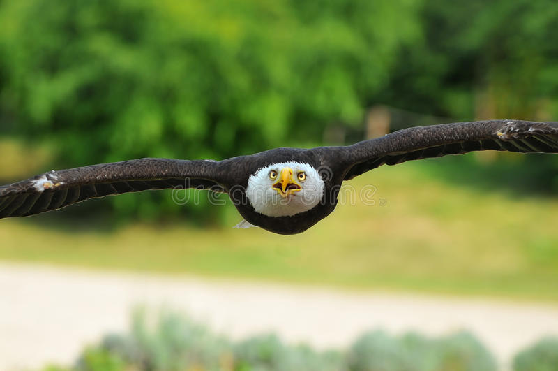 Download Bald Eagle stock image. Image of raptor, prey, ticino - 21077587